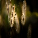 Light behind Grass seeds by Clare Colins
