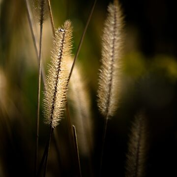Light behind Grass seeds by colinsart