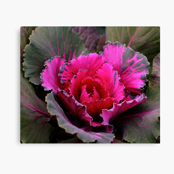 Cabbage Plant Canvas Print