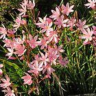 Kaffir Lilies, South Brent by lezvee