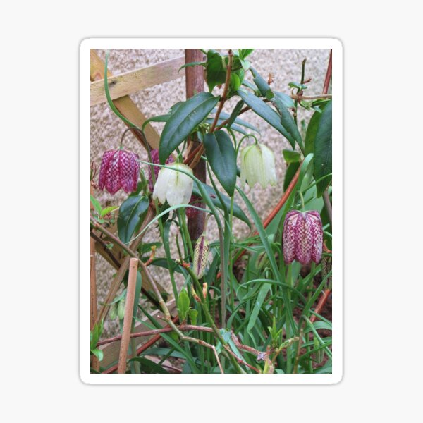 White And Snakes Head Fritillaries Sticker