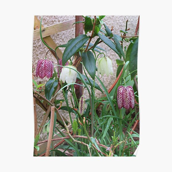 White And Snakes Head Fritillaries Poster