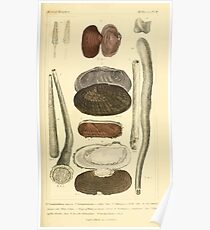 The Animal Kingdom by Georges Cuvier, PA Latreille, and Henry McMurtrie 1834  280 - Mollusca Mollusks Poster