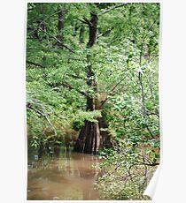 Louisiana Cypress Poster