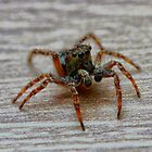 Jumping Spider 1 by mdetroit