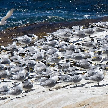 Greater Crested Terns by dgcphoto