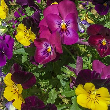 Colorful Spring Pansies by fparisi753