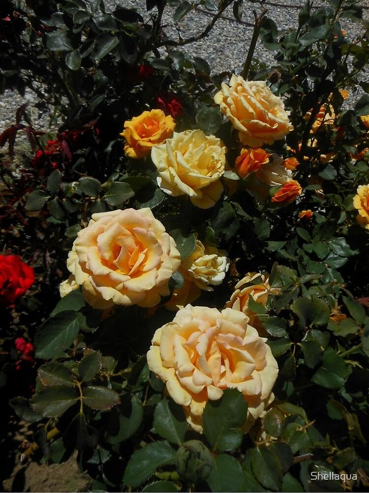 winning gold roses 05/12/18 by Shellaqua