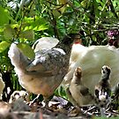 The Chook Family by AndreaEL