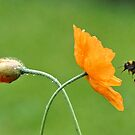 The Bumble And The Poppy by AndreaEL