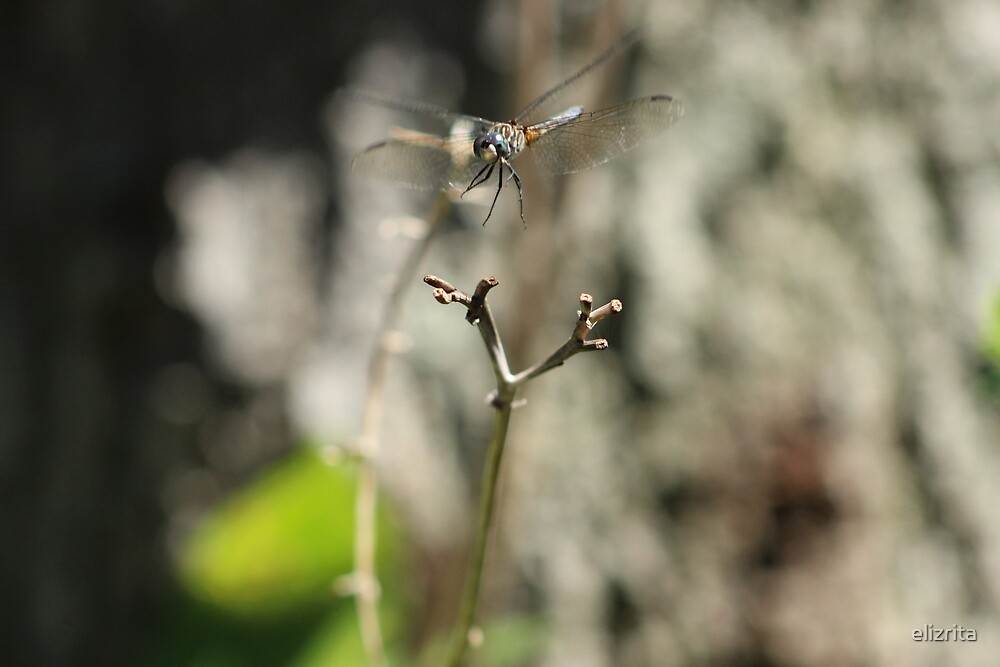 Dragonfly in flight by elizrita