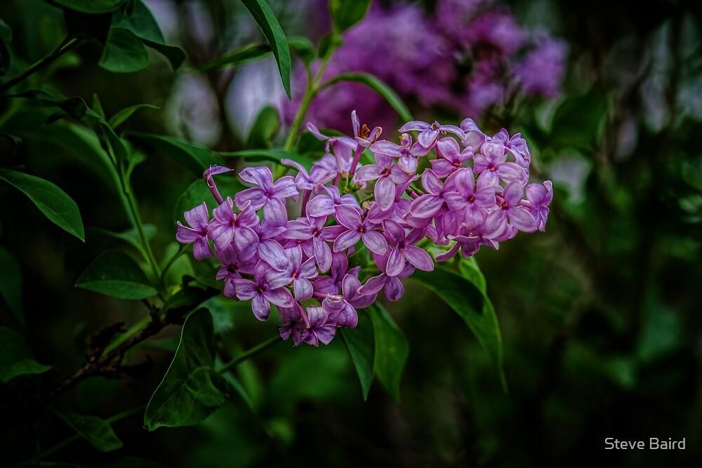 Lilac by Steve Baird