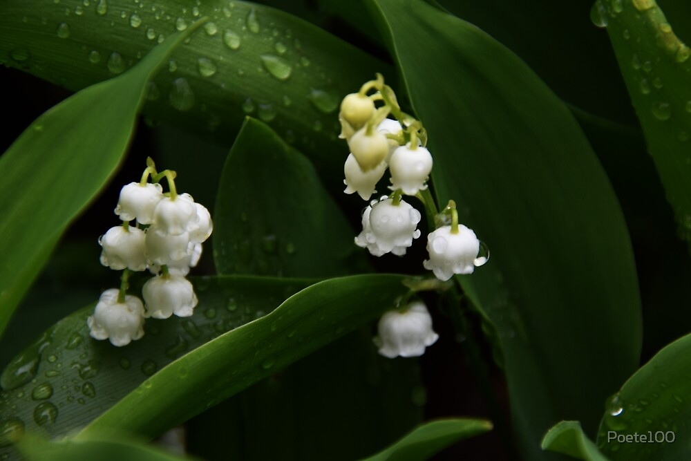 Rained soaked Lilies of the Valley! by Poete100