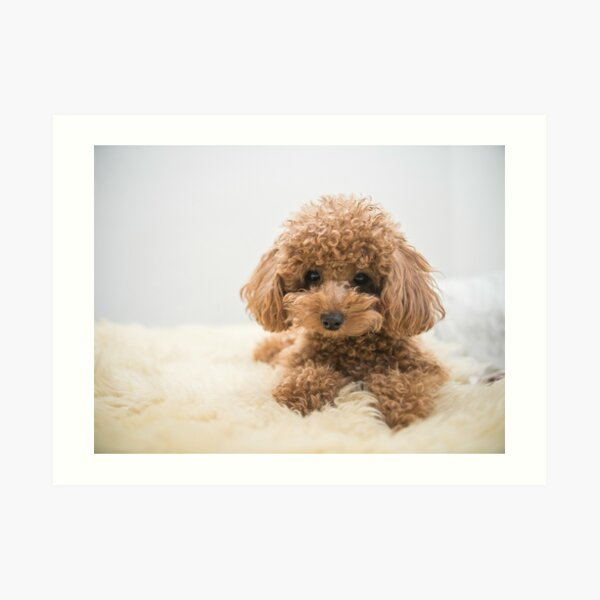 Curly-Haired Toy Poodle Art Print