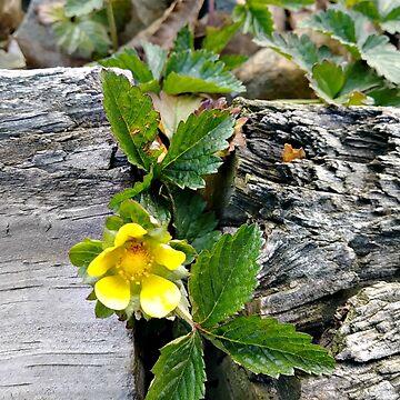 Indian Strawberry Flower in between the railroad ties in my garden by amberwayne52