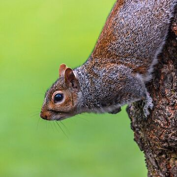 squirrel by robertbiraus