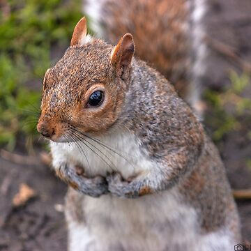 squirrel 2 by robertbiraus