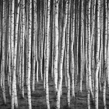 Black and white forest by SteviePix