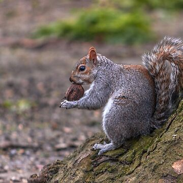 squirrel 3 by robertbiraus