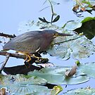 Green Heron by Jeff Ore