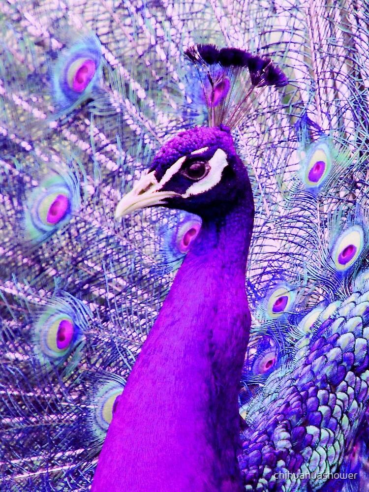 Purple Peacock by chihuahuashower