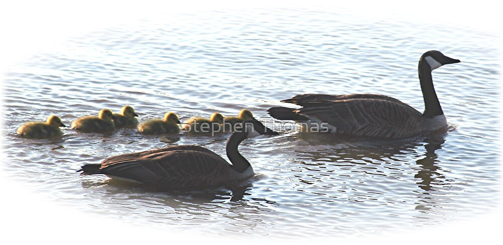 The Mr Canada Goose Family by Stephen Thomas