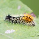 Impressed Dagger Moth Caterpillar  by DigitallyStill