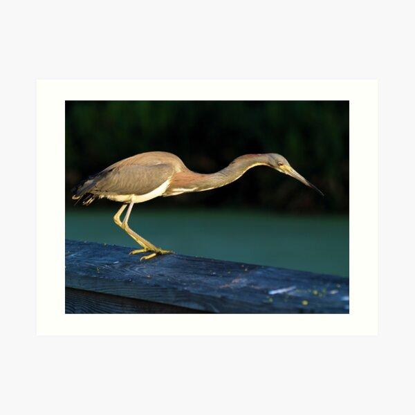 The Tri-colored Heron Art Print