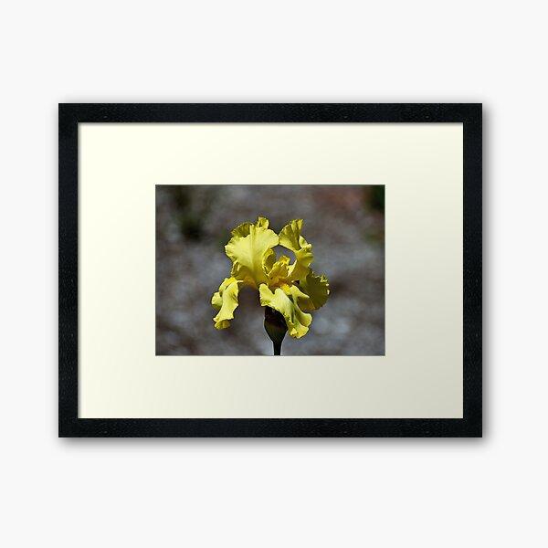 Yellow Iris Framed Art Print