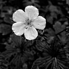 Wild Geranium, in monochrome by jrier