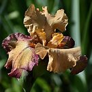 Iris - Rosy Tan by Len Bomba