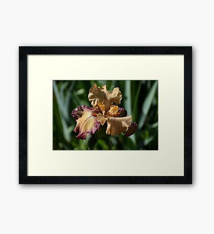 Iris - Rosy Tan Framed Print