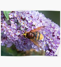 Hornet Mimic Hoverfly Poster