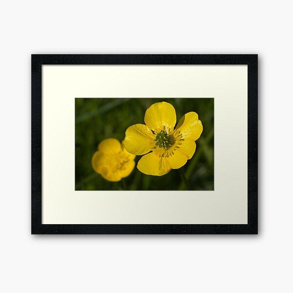 Bulbous Buttercup (Ranunculus bulbosus) Framed Art Print
