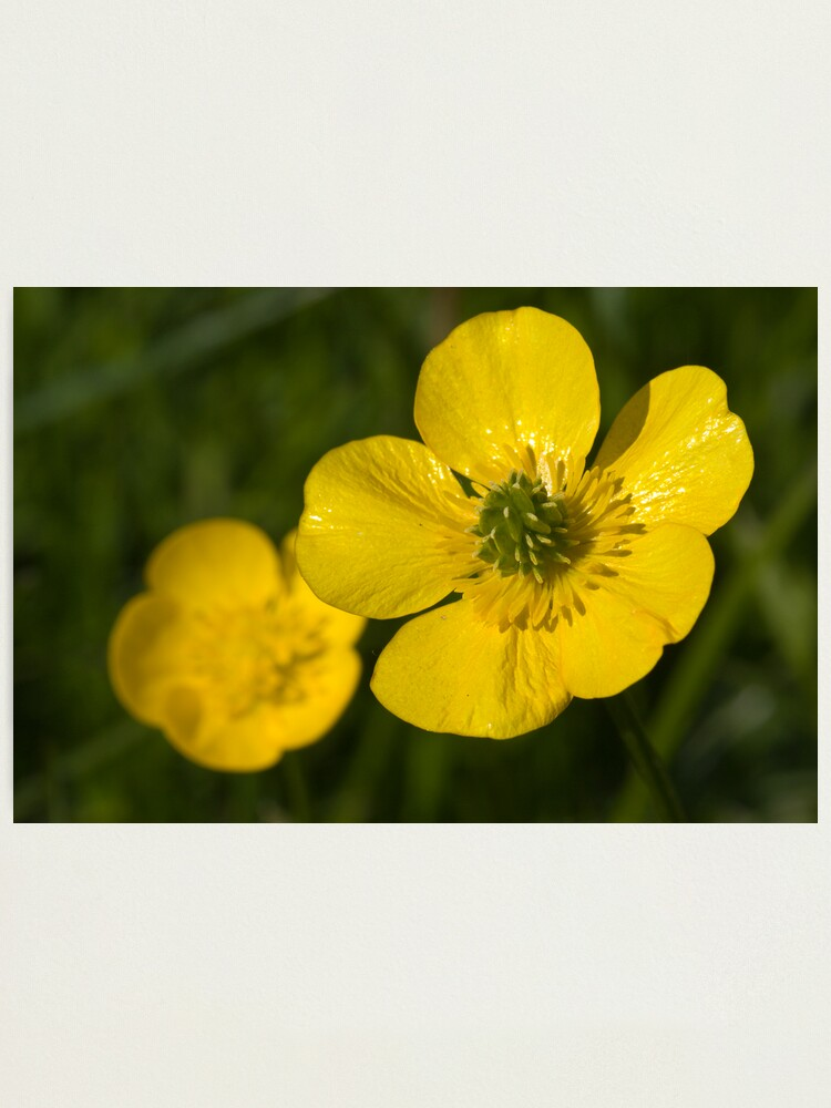 Alternate view of Bulbous Buttercup (Ranunculus bulbosus) Photographic Print
