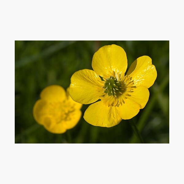Bulbous Buttercup (Ranunculus bulbosus) Photographic Print