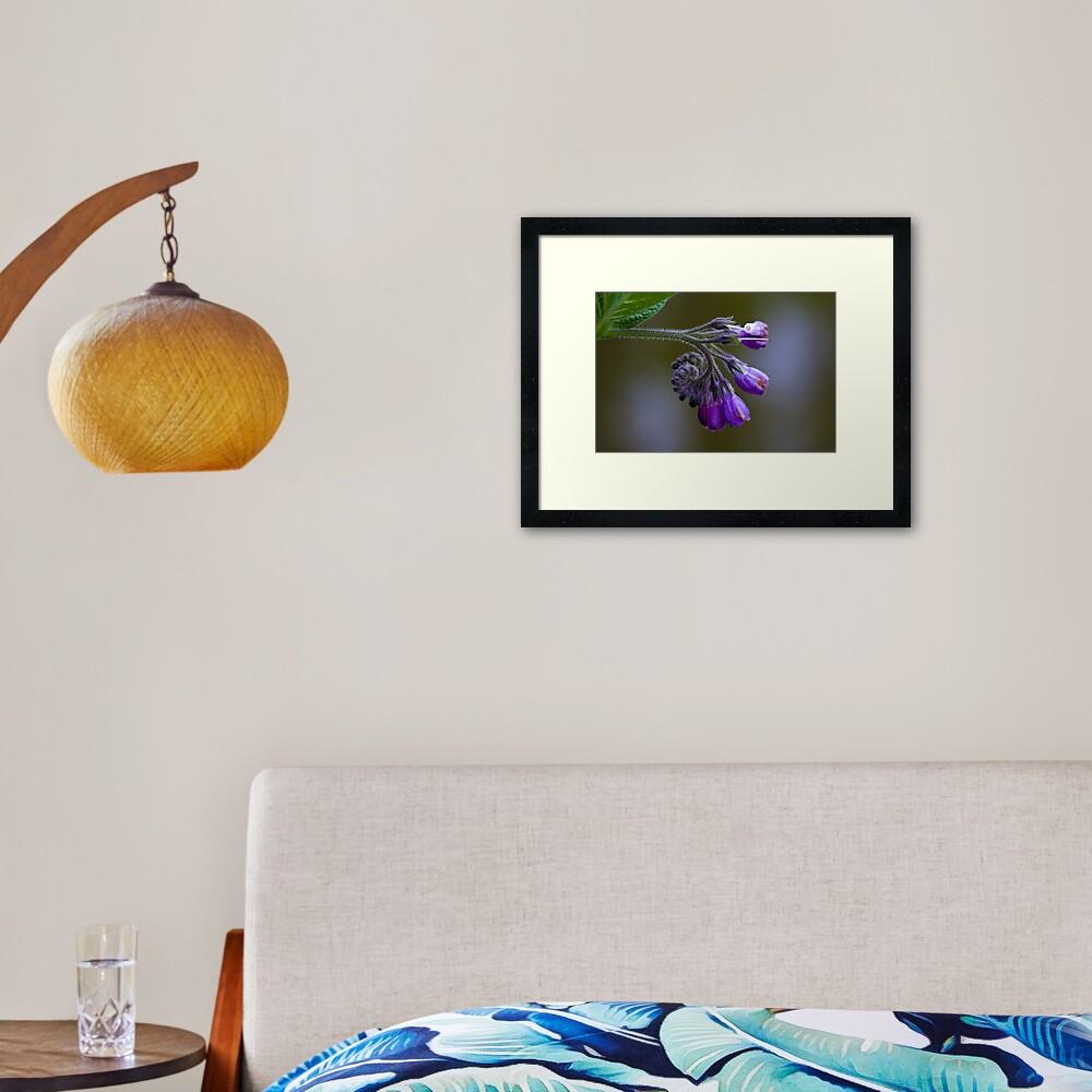 Common Comfrey (Symphytum officinale) Framed Art Print