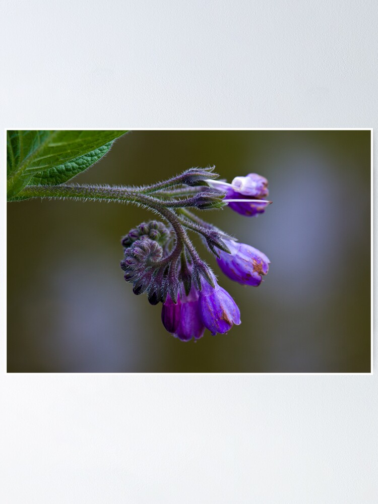 Alternate view of Common Comfrey (Symphytum officinale) Poster