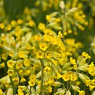 Cowslips (Primula veris) by Steve Chilton