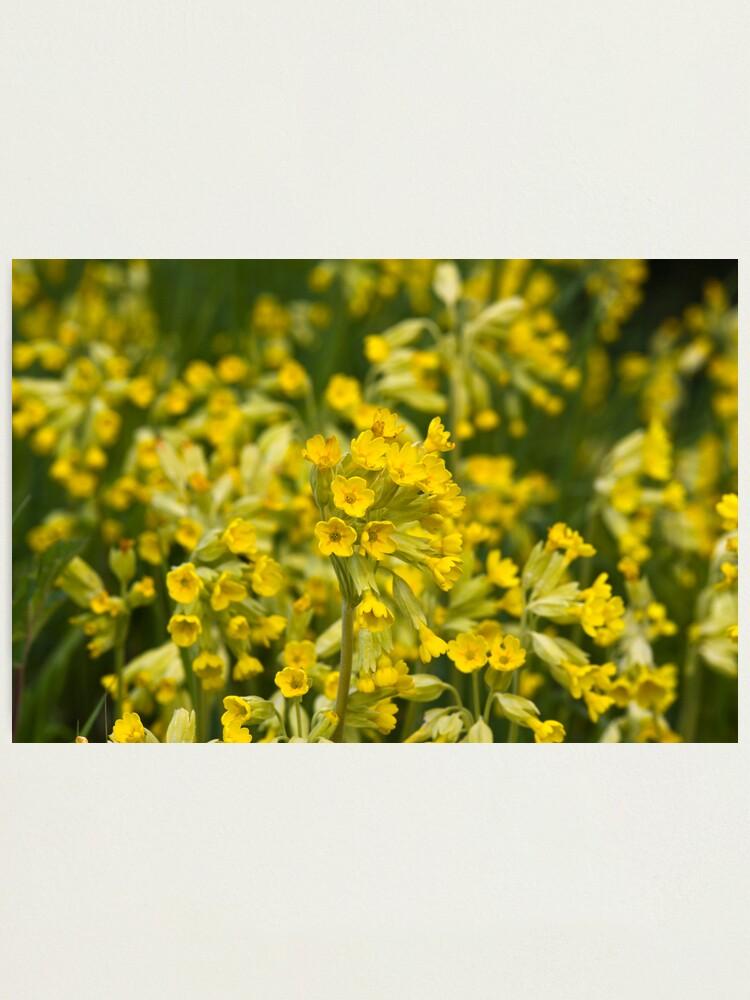 Alternate view of Cowslips (Primula veris) Photographic Print