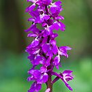 Early Purple Orchid (Orchis mascula) by Steve Chilton