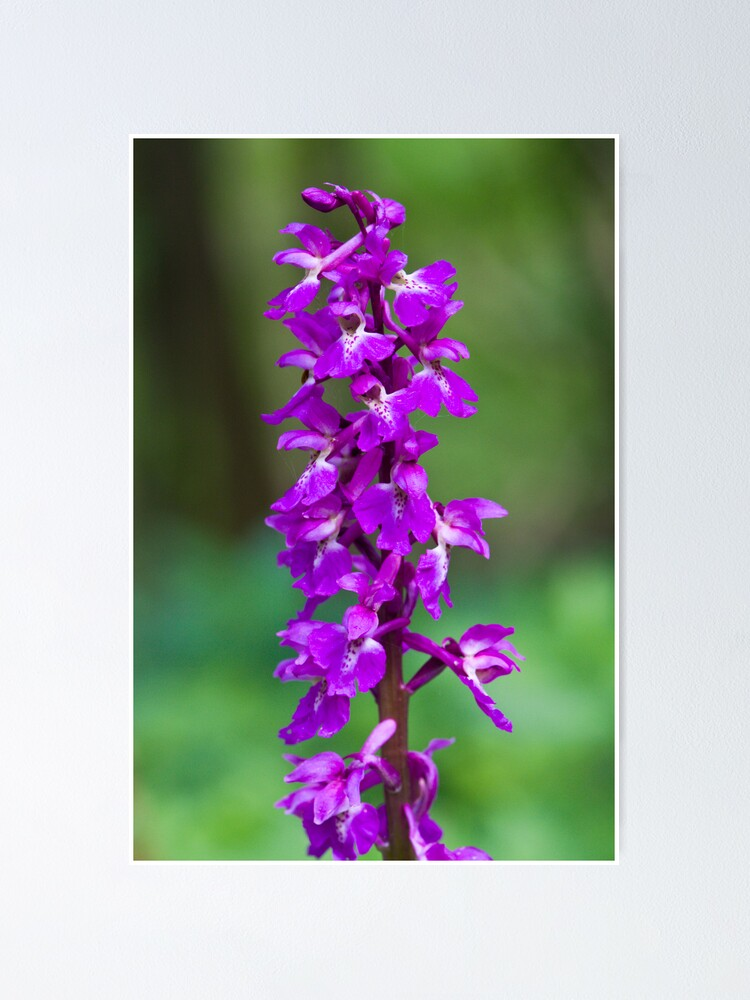 Alternate view of Early Purple Orchid (Orchis mascula) Poster