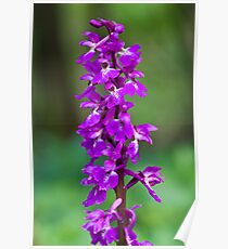 Early Purple Orchid (Orchis mascula) Poster