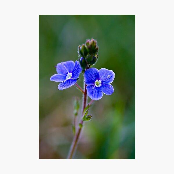 Germander Speedwell (Veronica chamaedrys) Photographic Print