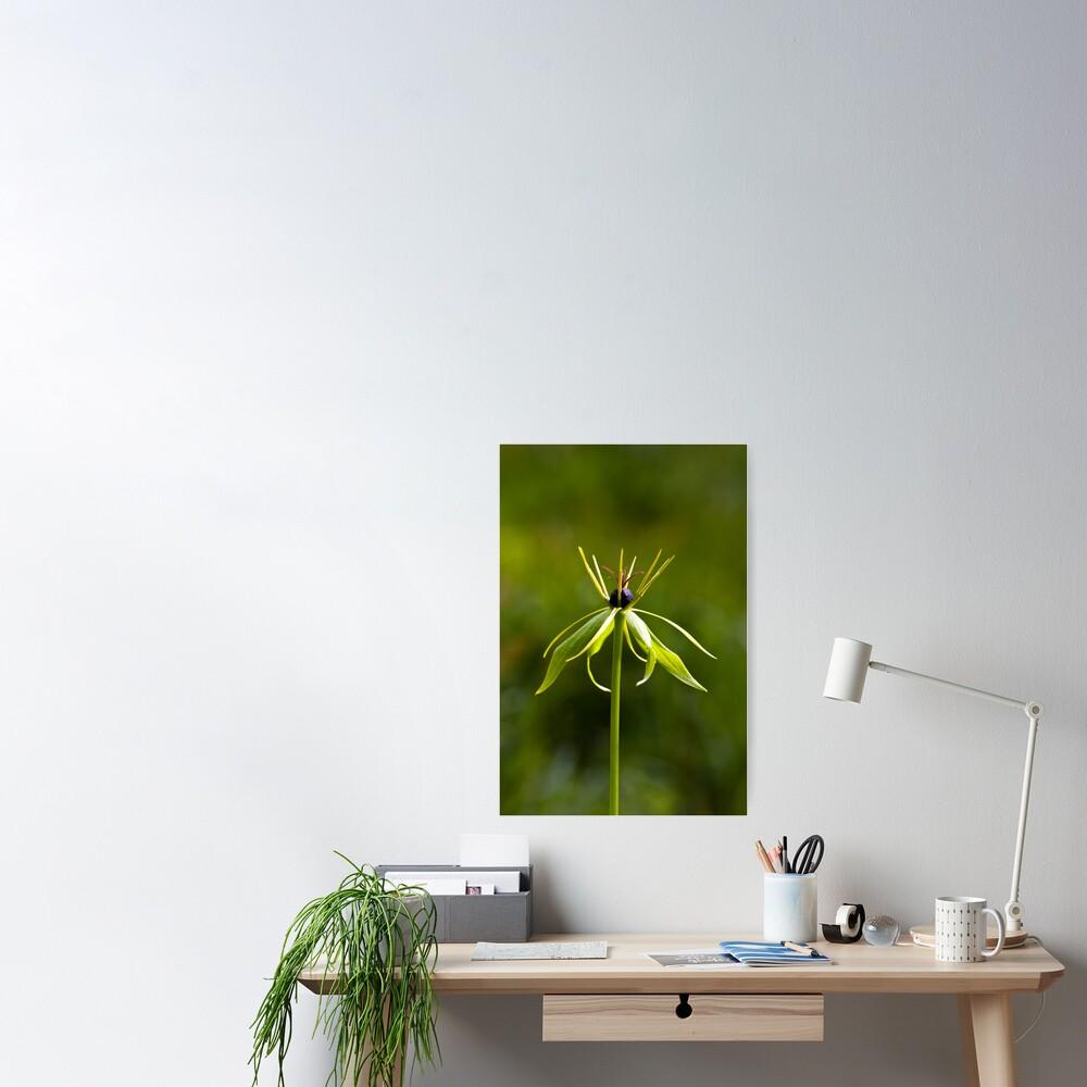 Herb Paris (Paris quadrifolia) Poster