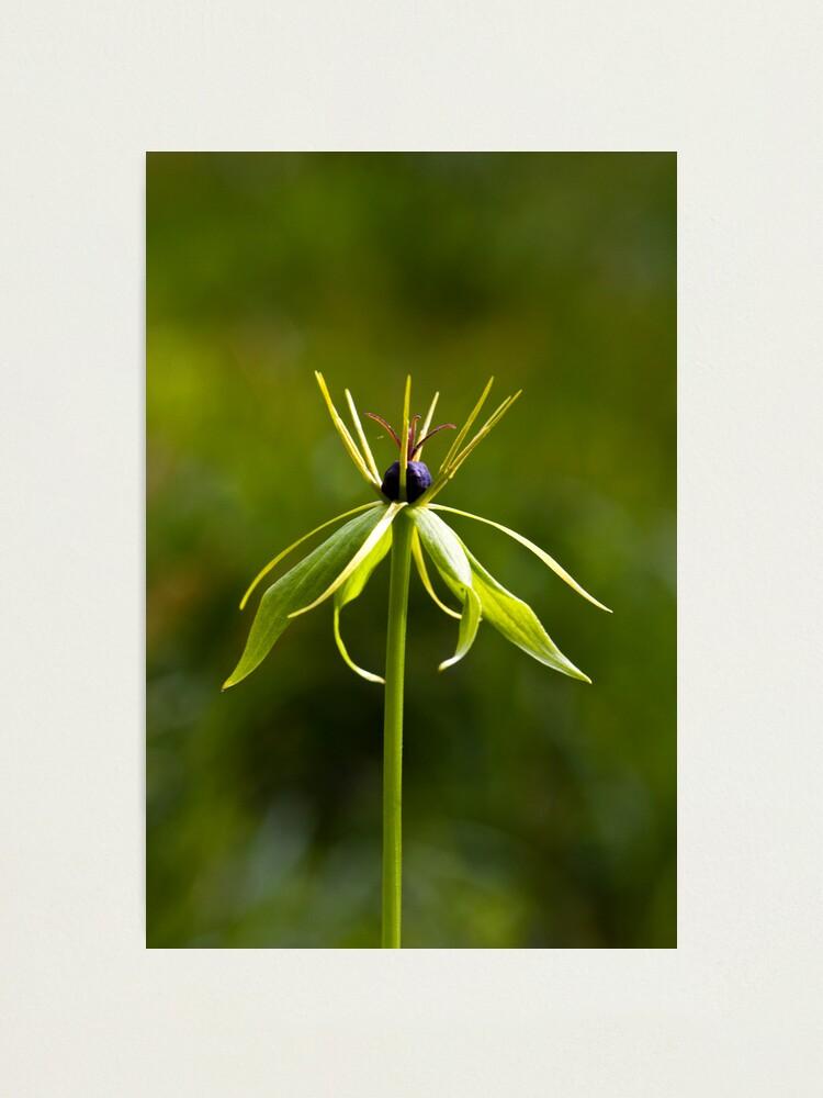 Alternate view of Herb Paris (Paris quadrifolia) Photographic Print
