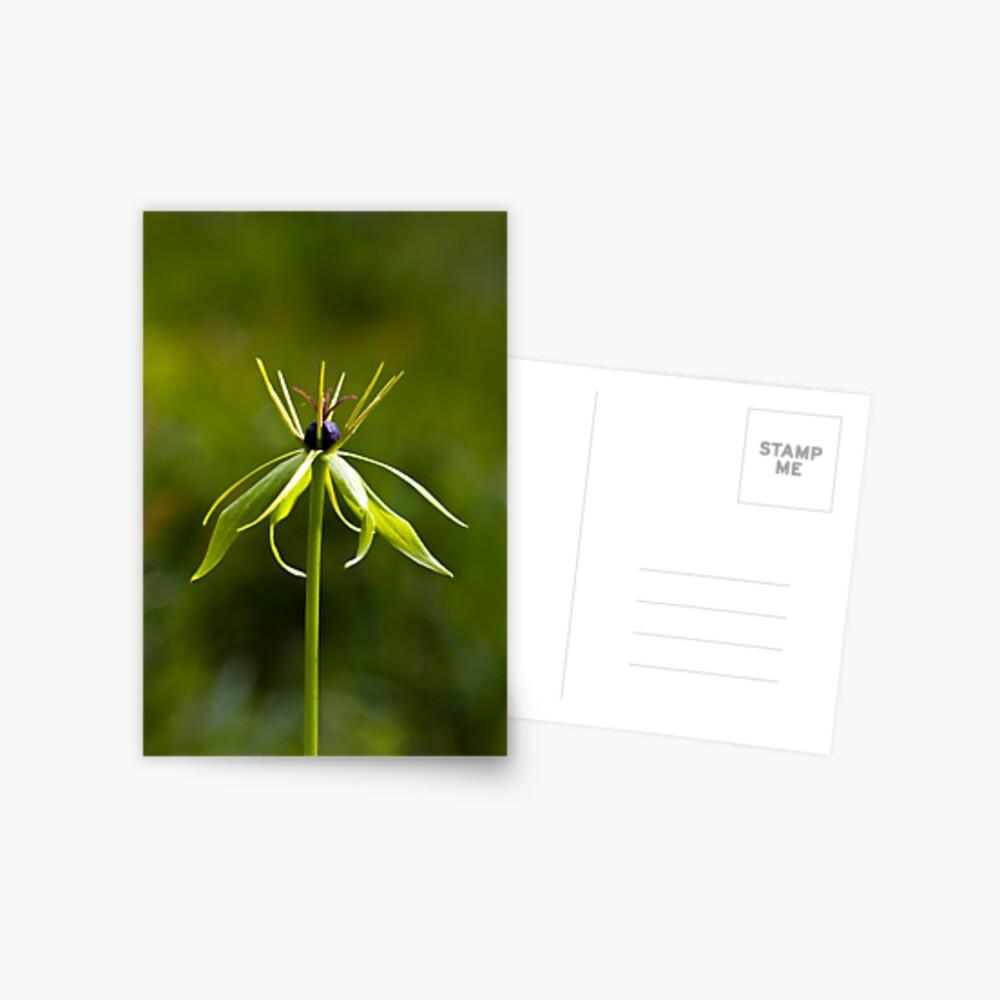 Herb Paris (Paris quadrifolia) Postcard