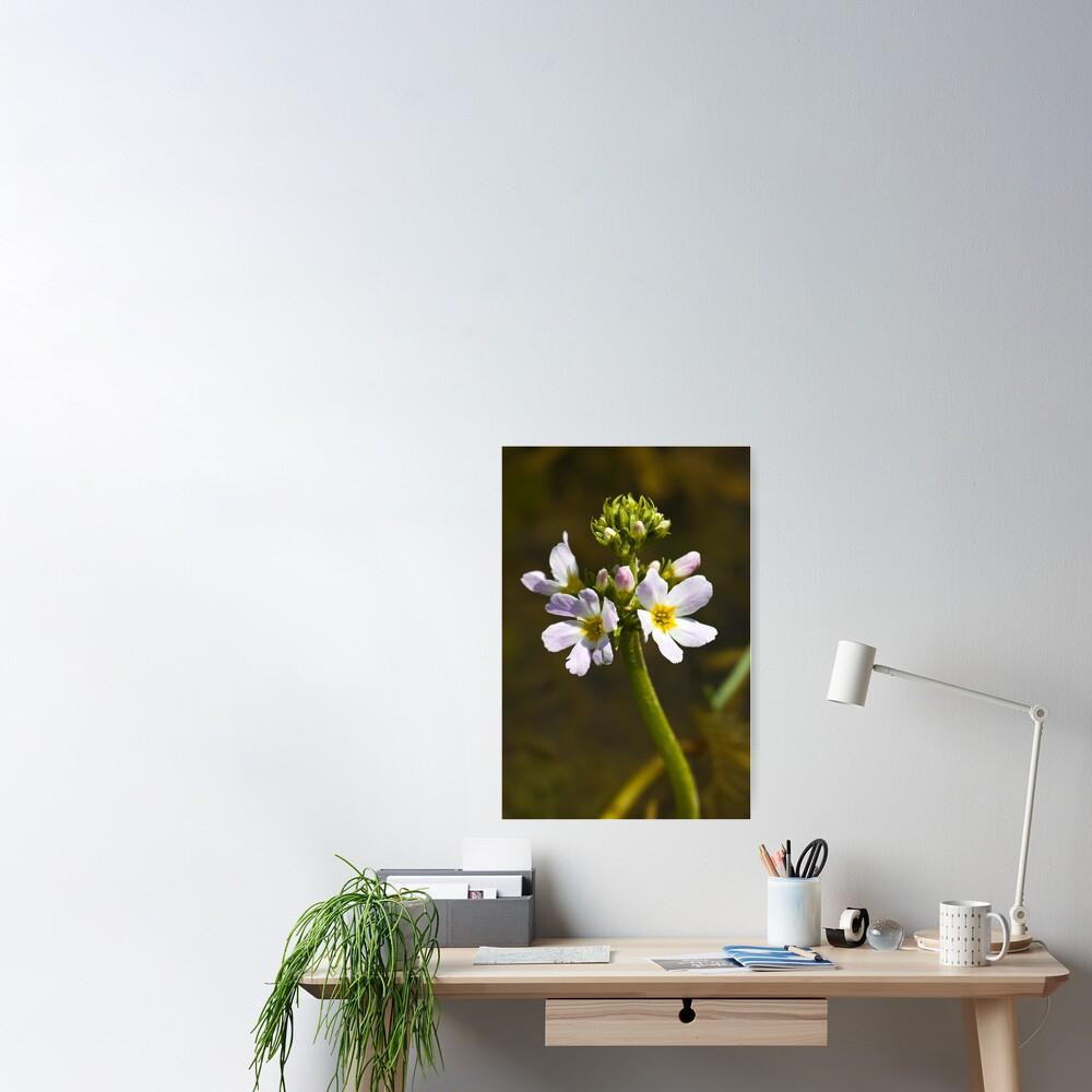 Water Violet (Hottonia palustris) Poster