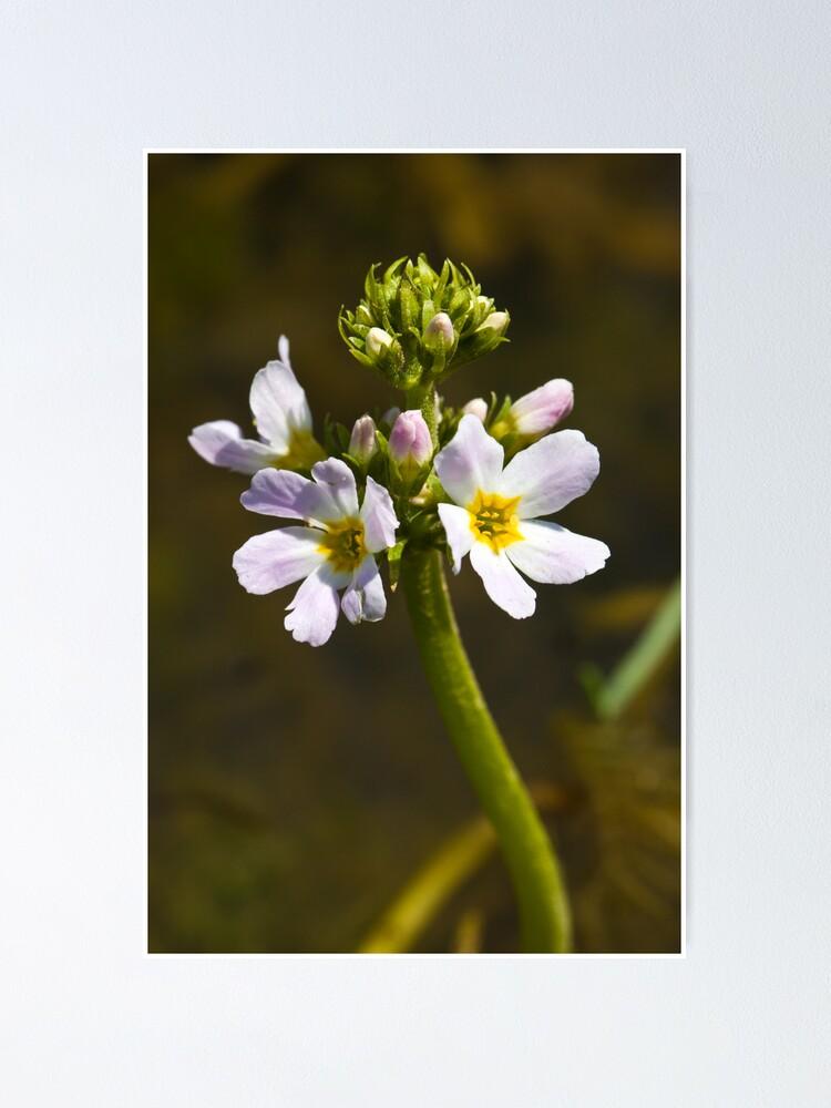 Alternate view of Water Violet (Hottonia palustris) Poster