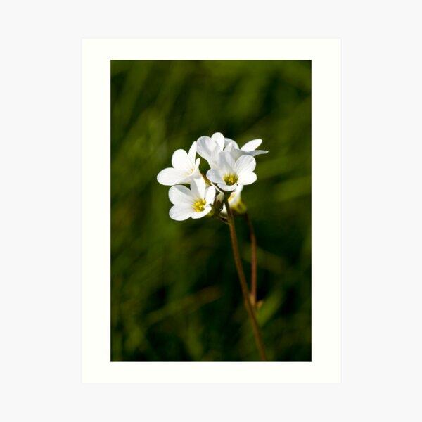 Meadow Saxifrage (Saxifraga granulata) Art Print